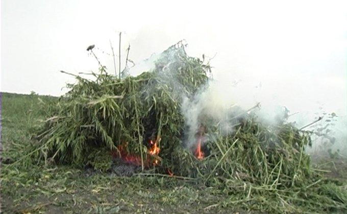 Харьковская область поля конопли наркобарон марихуана