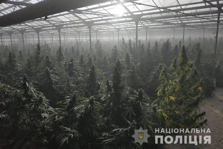 Крупные плантации конопли шоколад с марихуаной эффект