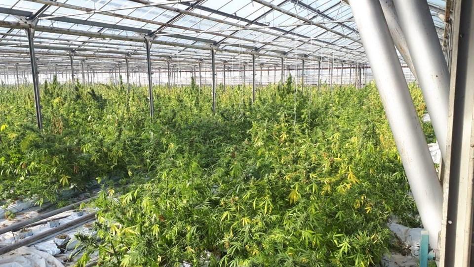 Крупные плантации конопли документальны фильм о марихуане