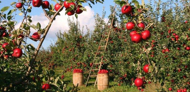 Ученые вывели новый сорт яблок за $10 млн: их можно хранить год