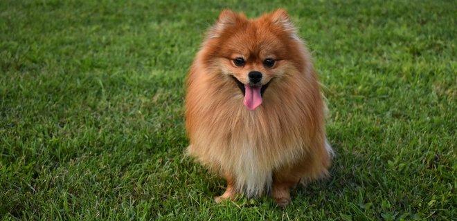 что такое коронавирус у собак