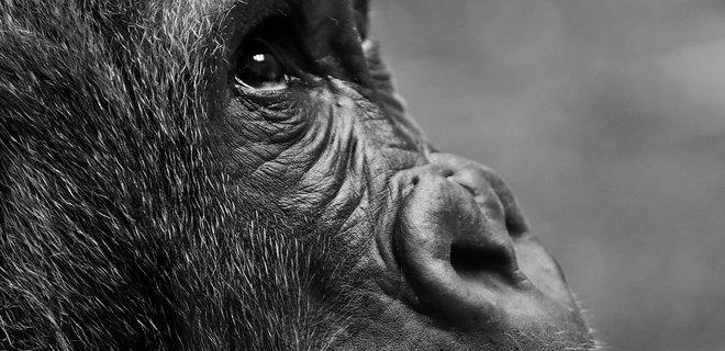 Коронавирус. В Африке посадили на карантин человекоподобных обезьян