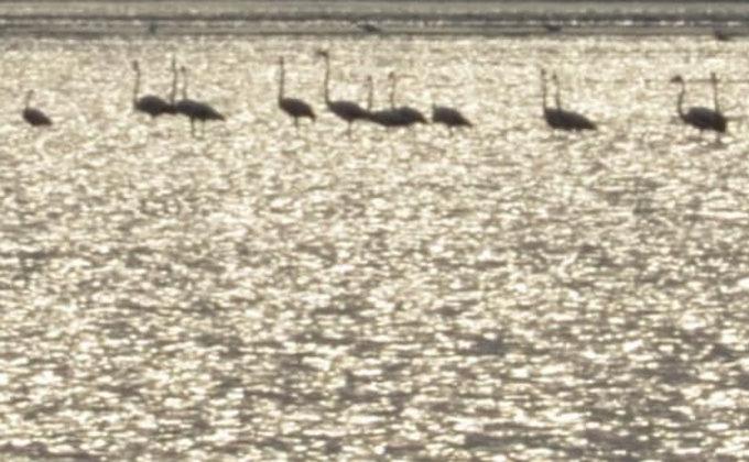 Из Африки. В Одесскую область прилетели розовые фламинго – фото